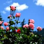 Roses @ club house