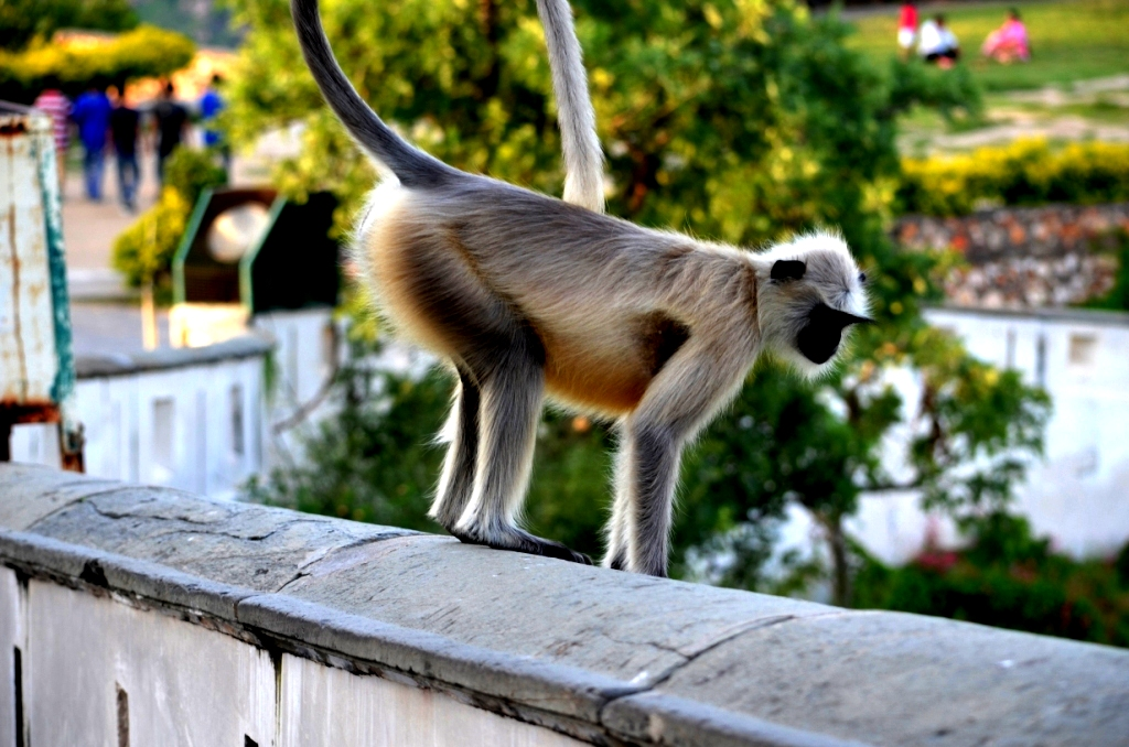 Langur at Sajjan Garh fort