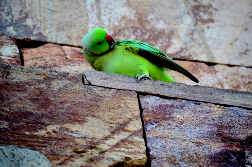 essay pet bird parrot Essay on parrot source(s): parrot is a beautiful and colourful bird parrot's favourite food is chilli is a parrot a good pet for a child.